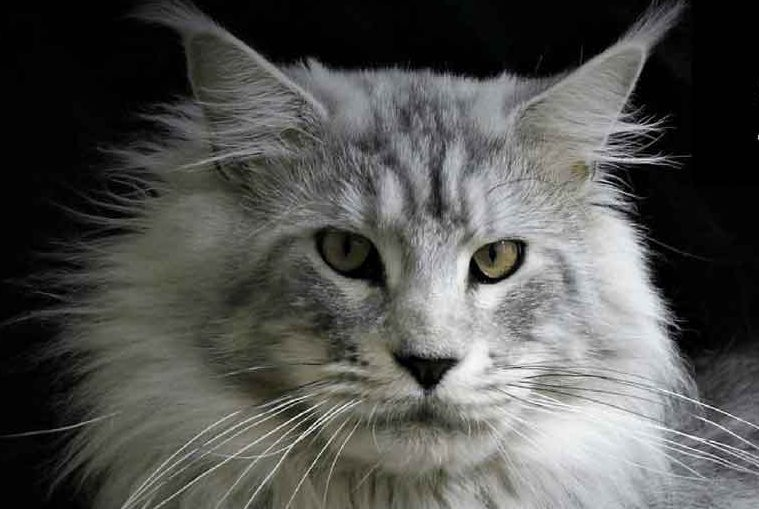 The Silver Maine Coon Maine Coon Expert
