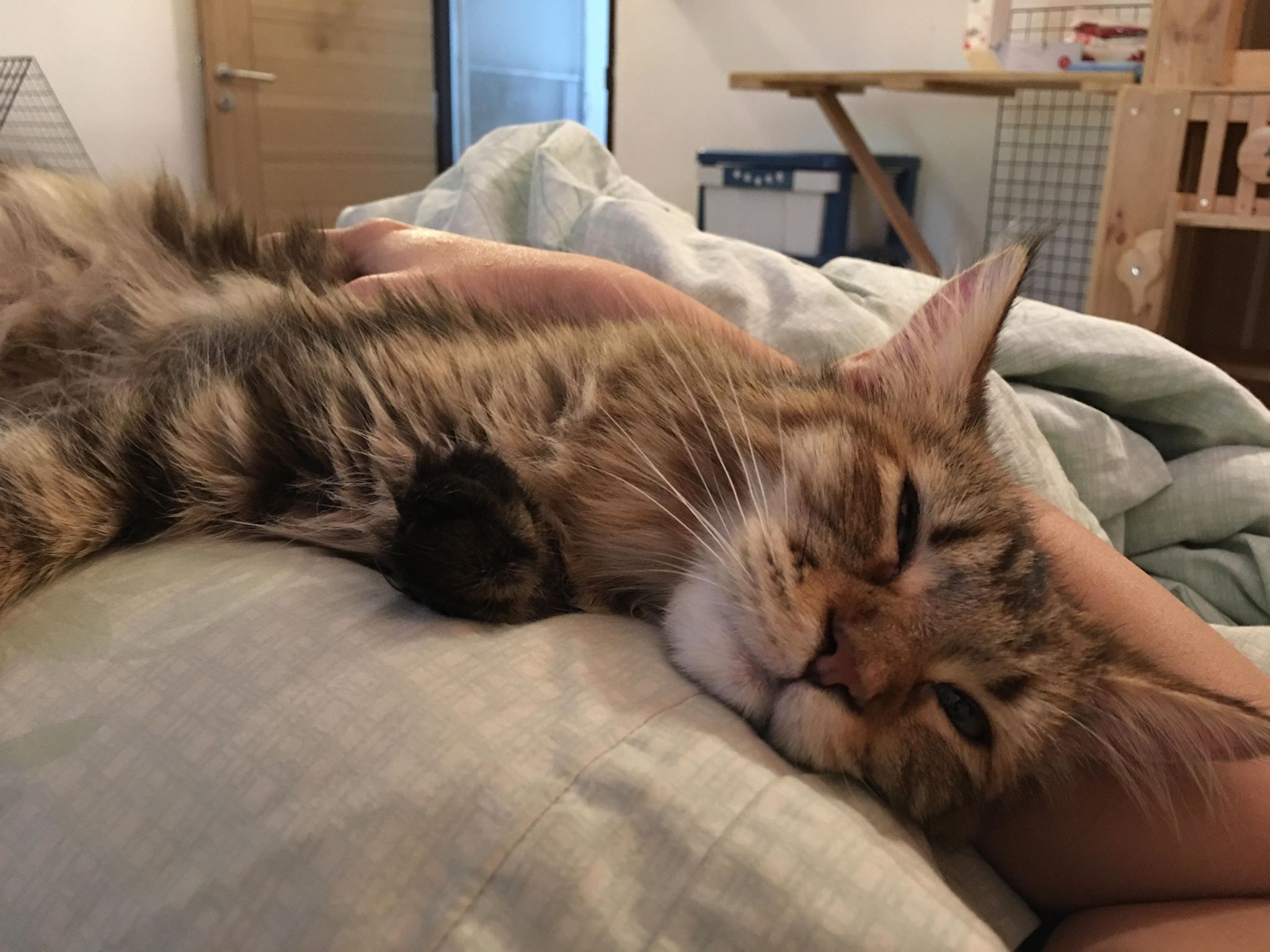 Alita Maine Coon cat sleeping