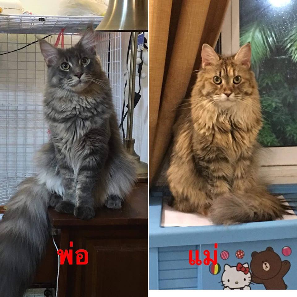 Alita's parents  -Male and female maine coon