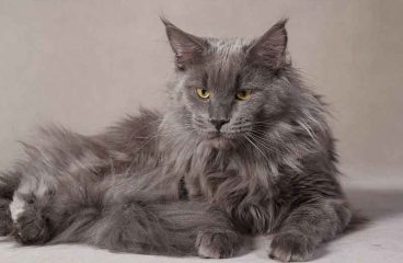 The Grey Maine Coon