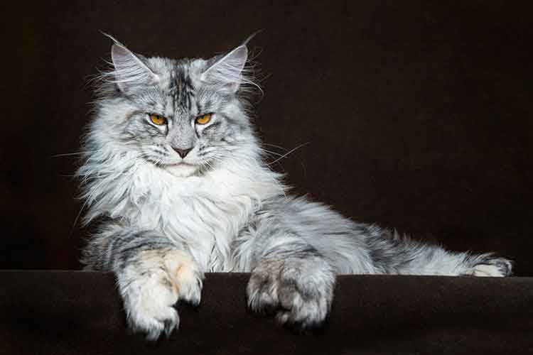 A gray Maine Coon