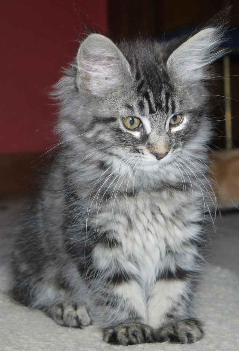 A gray Maine Coon kitten