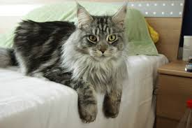 Maine Coon on bed