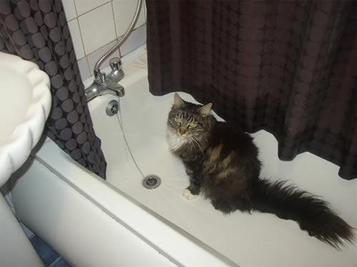 Maine Coon in a bath waiting