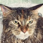 The Best Shampoo For Maine Coon Cats