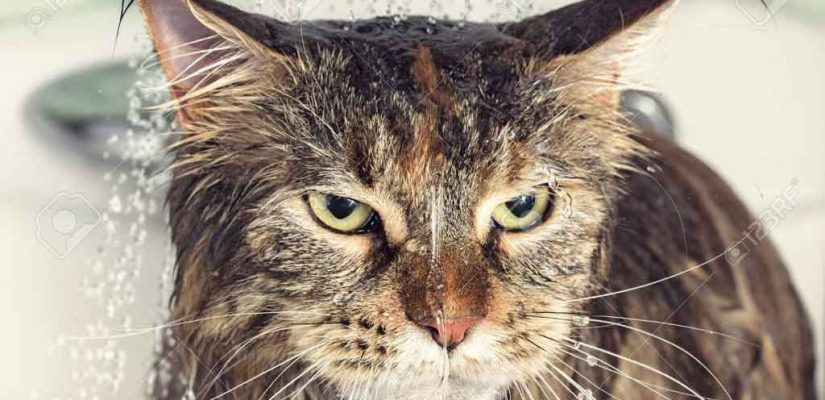 Maine Coon head shot in water shower