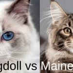 Maine Coon vs Ragdoll - A Comparison and Guide