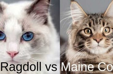 Maine Coon vs Ragdoll – A Comparison and Guide