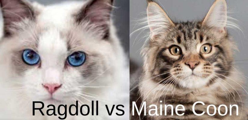 Maine Coon vs Ragdoll comparison