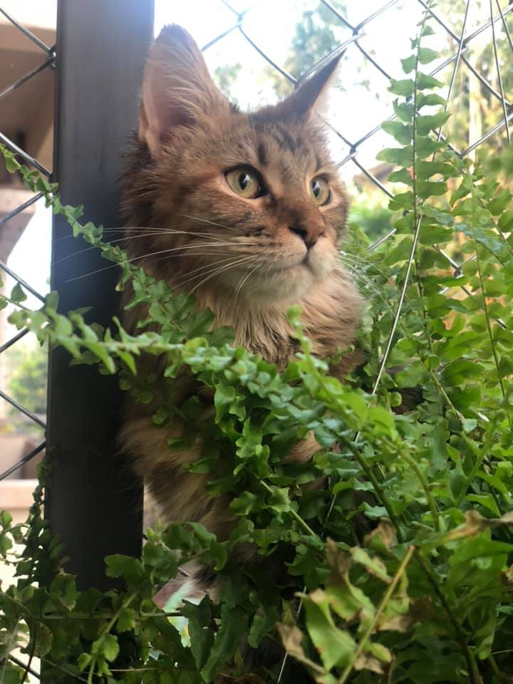 Maine Coon behind ferns