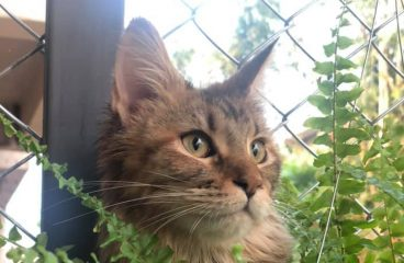 Picking Alita – How I Went About Buying My Maine Coon