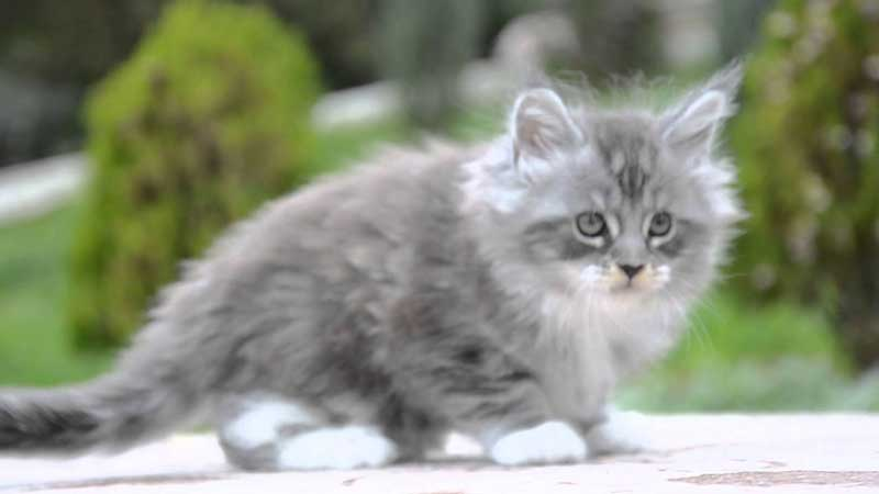 Silver Maine Coon kitten with white paws