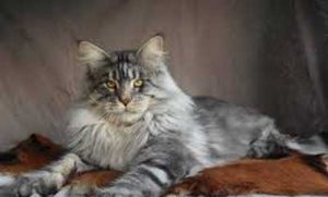 A silver Maine coon lying down
