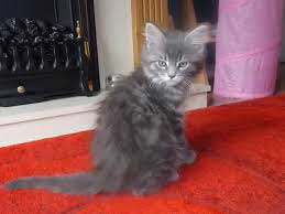 A silver Maine coon kitten sitting down