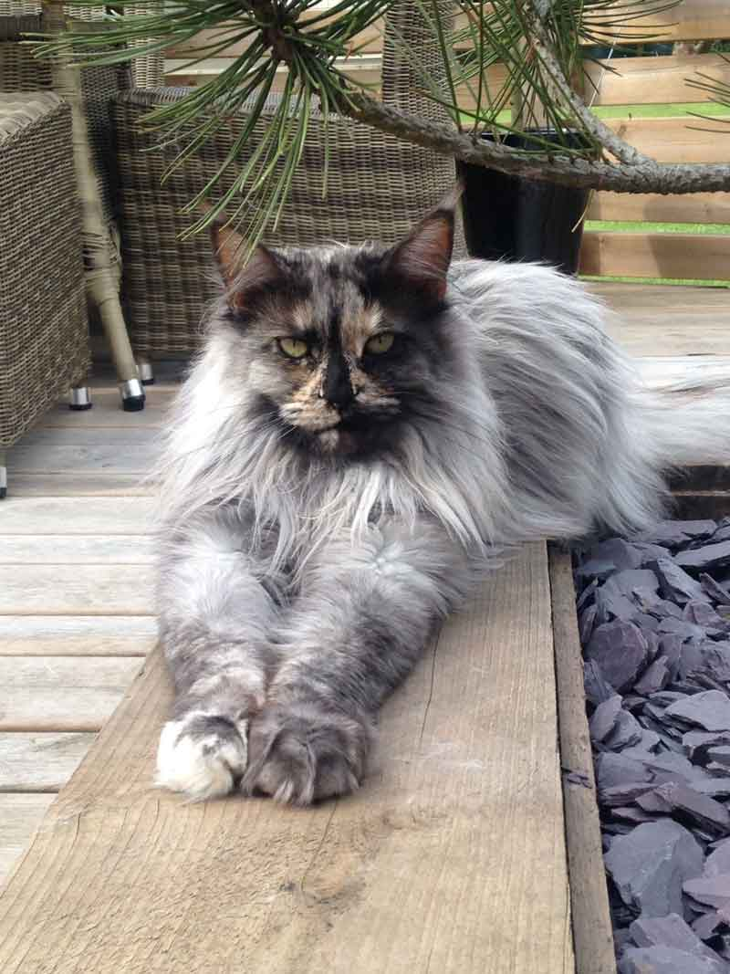 The Smoke Maine Coon - Maine Coon Expert
