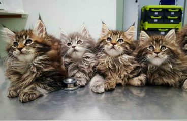Maine Coon Adoption: A Helpful Guide for Adopting or Rescuing