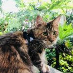 A Full Guide To Typical Maine Coon Health Issues