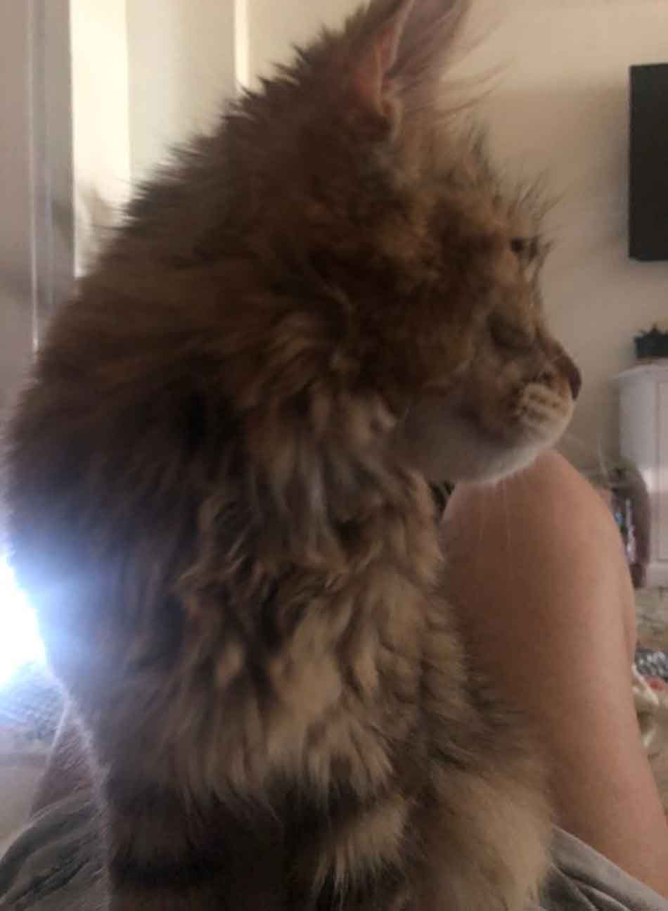 Alita the maine coon on my stomach