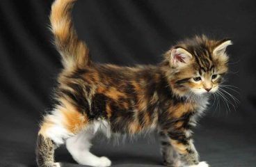 The Calico Maine Coon