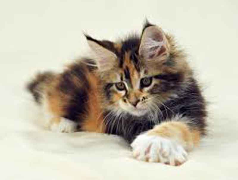 Calico Maine Coon kitten