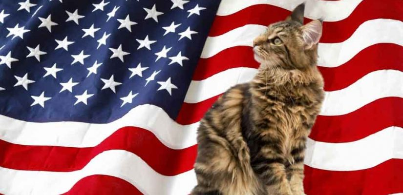 maine coon with flag background