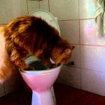 Should I Toilet Train My Maine Coon? (And How)
