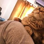 Will Your Maine Coon Lie On You? Mine Consistently Does