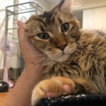The Pros And Cons Of Declawing Your Maine Coon