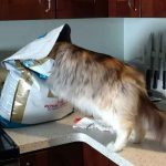 Can Your Maine Coon Eat Dog Food?