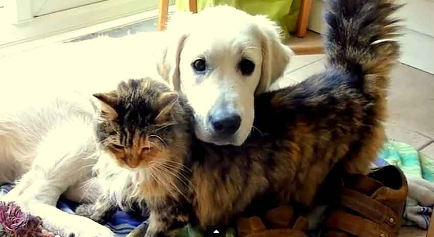 maine coon and dog together