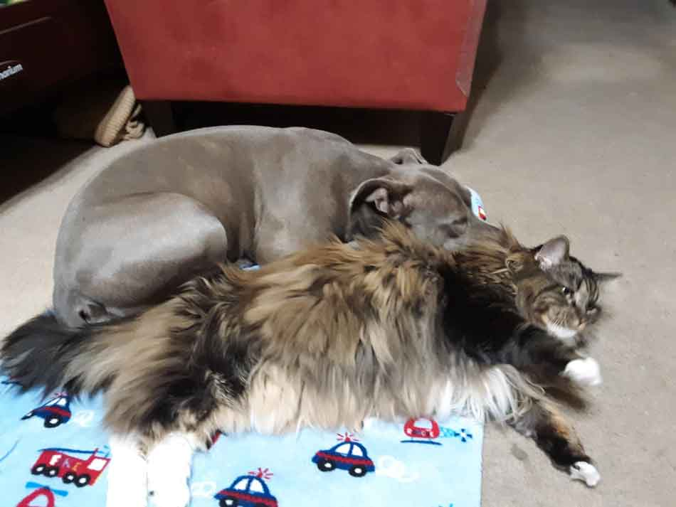 maine coon and a dog lying down