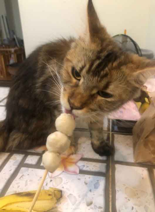 Alita the Maine Coon trying a meatball