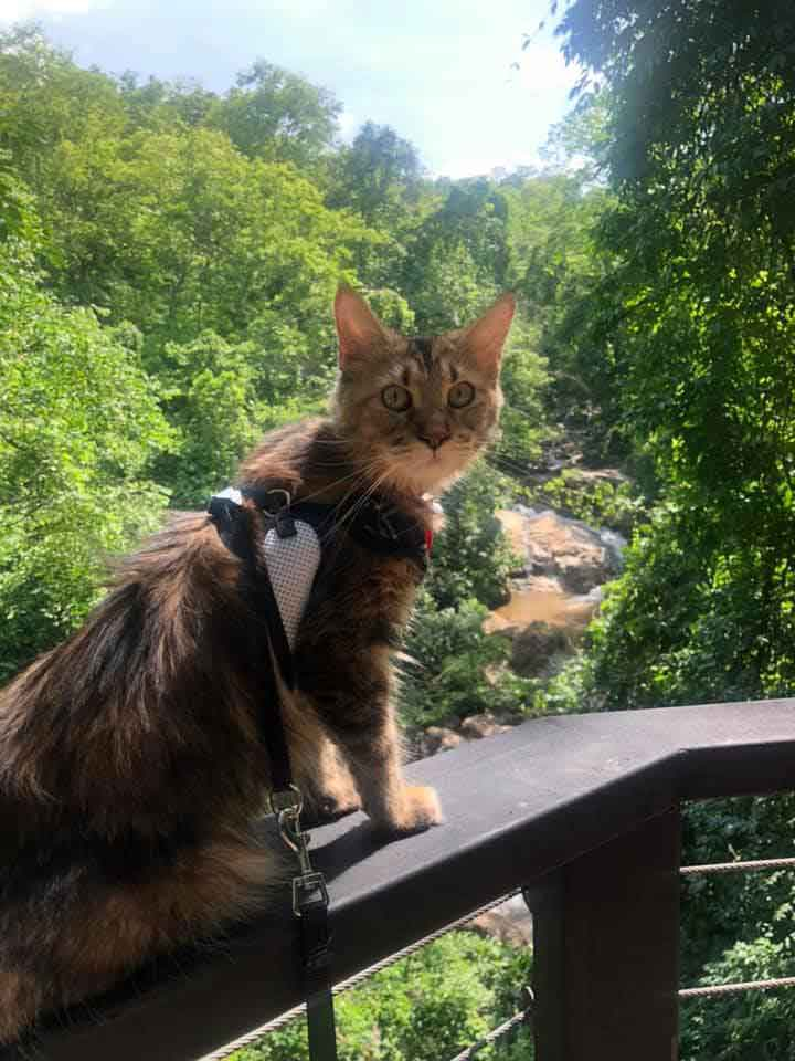 Alita the Maine Coon on ledge at gorge