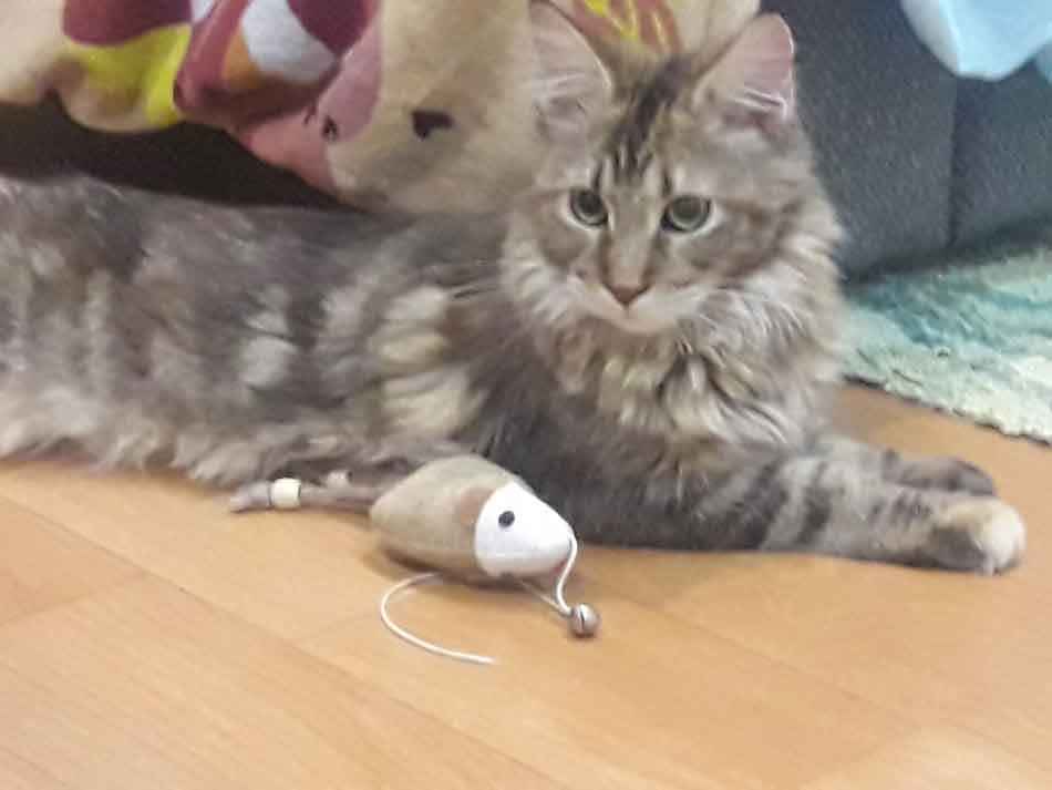 Alita the Maine Coon woth toy