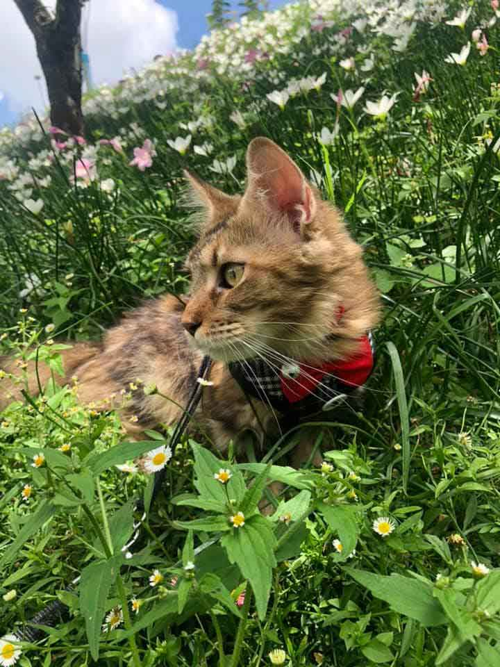 Alita the Maine Coon in grass