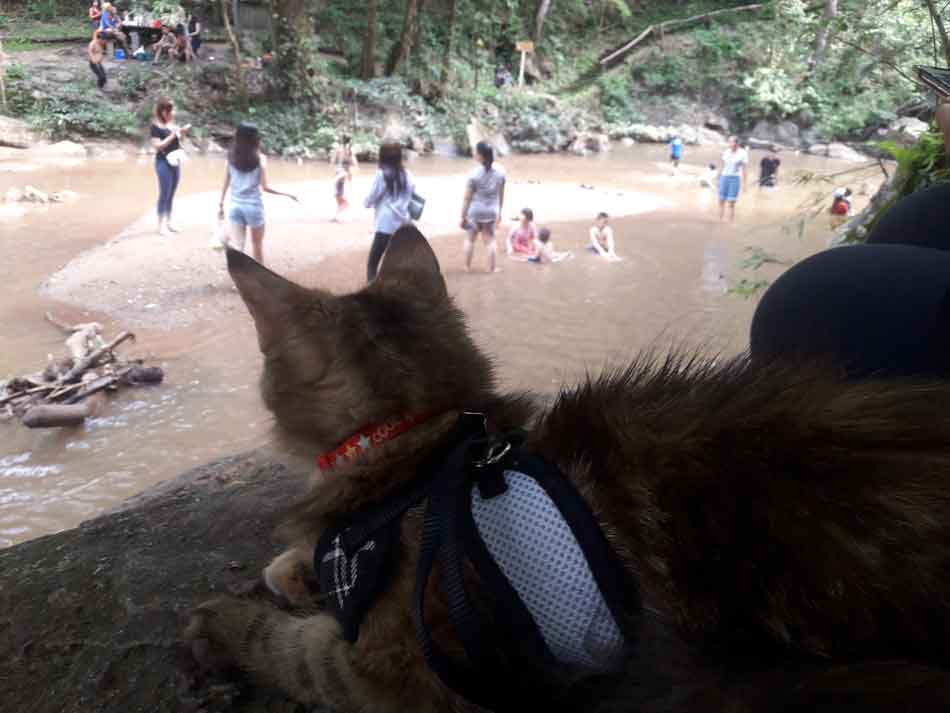 Alita the Maine Coon watching people in a river