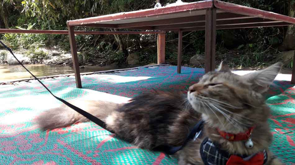 Alita the Maine Coon sunning herself at river