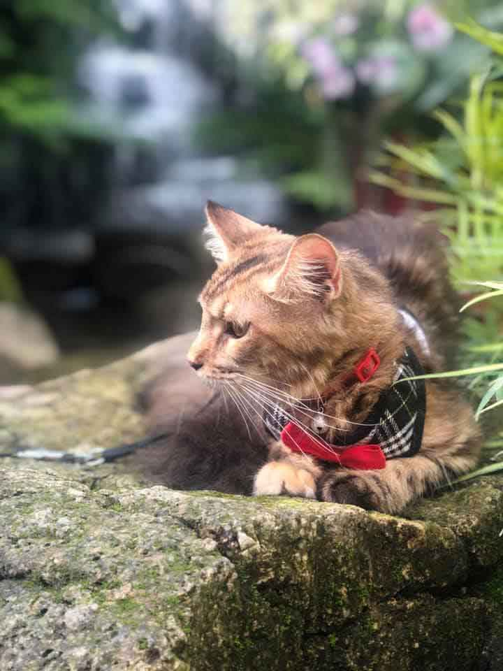 Alita the Maine Coon at a waterfall cafe