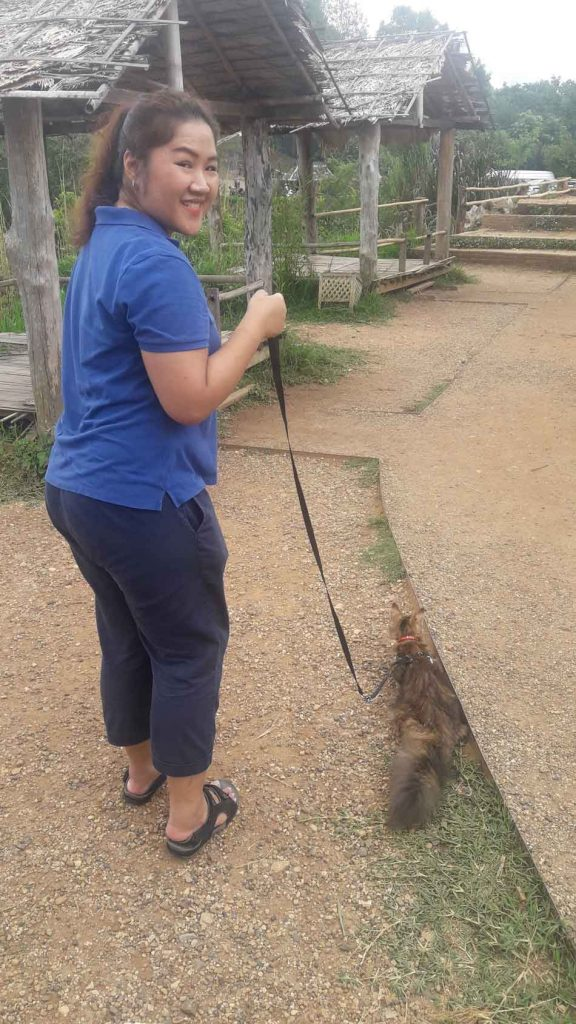 Alita the Maine Coon walking on a lead