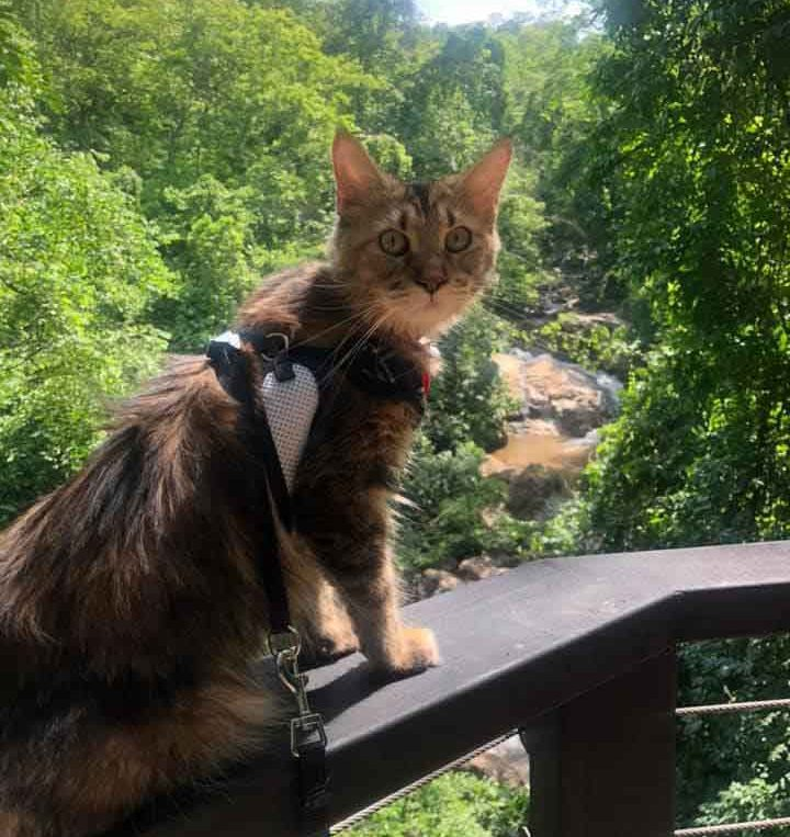 Alita the Maine Coon on a gorge