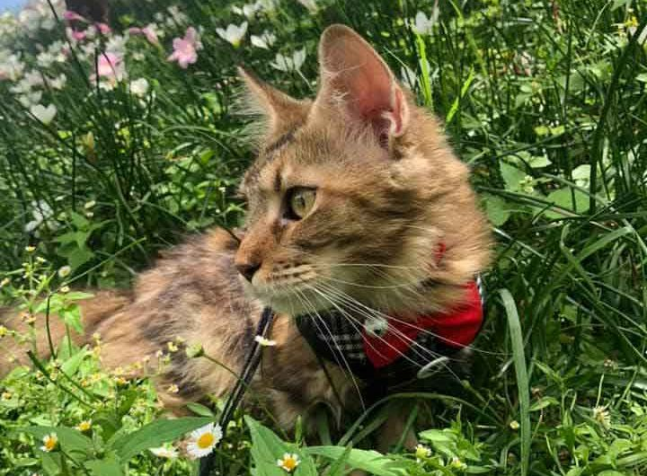Maine Coon in grass close up