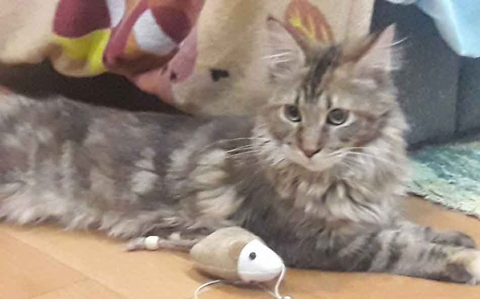 Alita the maine coon playing with a mouse
