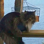 Can Maine Coons Stay Outside In The Cold?