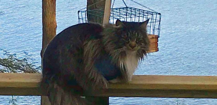 Maine Coon outside in the cold