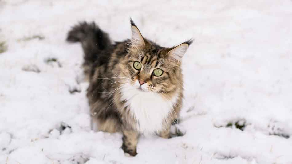 a tabby maine coon sitting in the snow