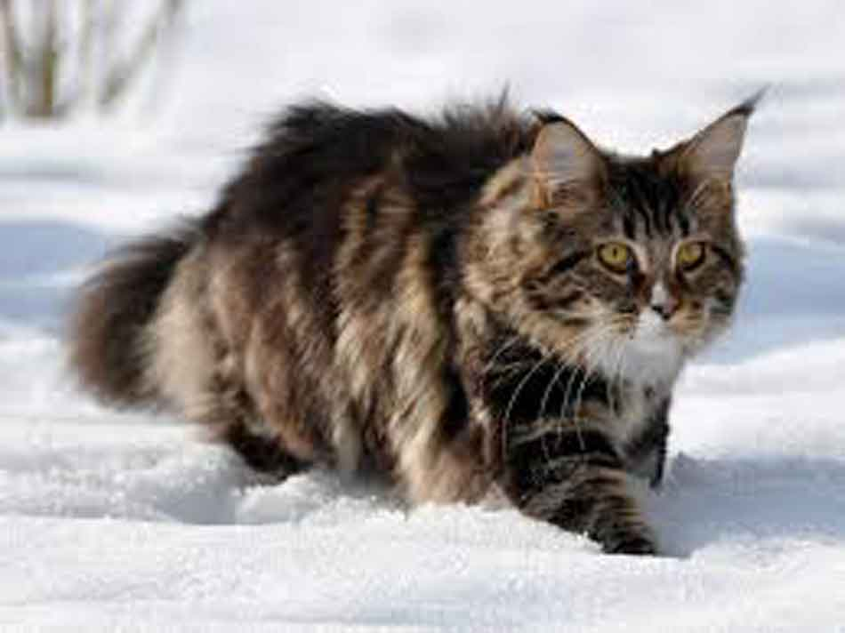 a tabby maine coon prowling in the snow