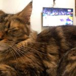 How Much Sleep Should A Maine Coon Have?