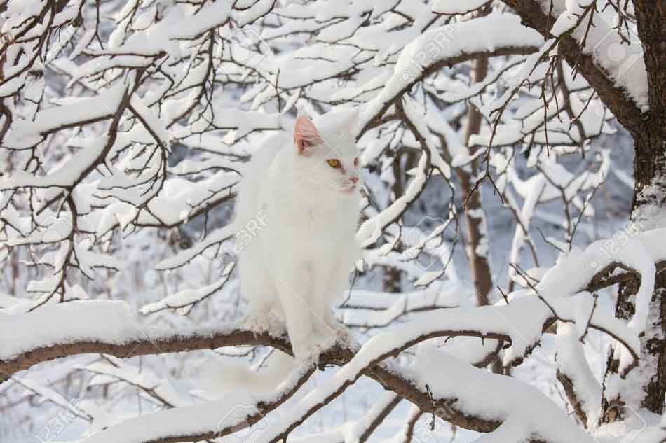 a white maine coon sitting on a branch in the snow