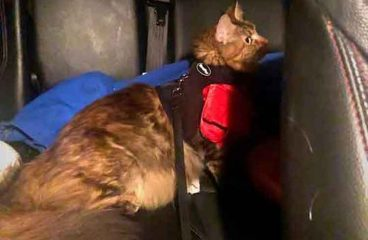 Travelling With A Maine Coon In A Car:  What's It Like? (And How To Do It)
