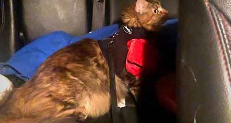 Alita (Maine Coon) in the back seat of car